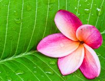 Frangipani flowers. In the spa for health care Royalty Free Stock Images