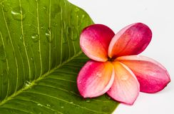 Frangipani flowers. In the spa in north thailand Stock Photo