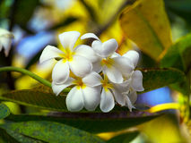 Frangipani flowers. White and yellow frangipani flowers with leaves in background Stock Photography