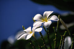 Frangipani flowers. White Frangipani flowers with a blue background Royalty Free Stock Photo