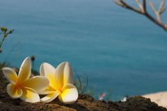 Frangipani flowers at the beach Royalty Free Stock Photos