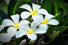 Frangipani flowers. Beautiful flowers with a delicate fragrance Royalty Free Stock Images
