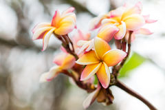 Frangipani flowers. Beauty flower of temple in Thailand Asia Stock Photography