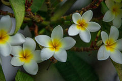 Frangipani flowers blooming on a branch Stock Photography