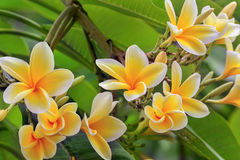 Frangipani Flowers. Blooming in my backyard stock photos