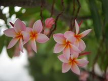 Frangipani flowers blooming. Pink Frangipani, Plumeria, Temple Tree, Graveyard Tree. Plumeria is a genus of flowering plants in the dogbane family, Apocynaceae Royalty Free Stock Image