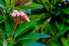 Frangipani Flowers royalty free stock photos
