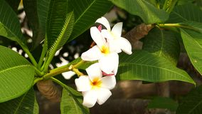 Frangipani flowers blooming on tree. Plumeria (frangipani flowers) blooming on tree, It is commonly used in spa stock video