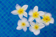 Frangipani flowers in blue pool water Stock Photo
