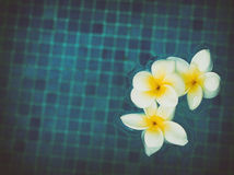 Frangipani flowers in blue water Royalty Free Stock Photos