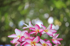 Frangipani flowers and bogeh background Stock Photography