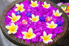 Frangipani flowers in a bowl of water Royalty Free Stock Photography