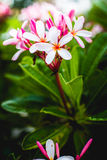 Frangipani flowers. Bunch of pink frangipani plumeria flowers close up Stock Images