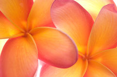 Frangipani flowers close up Royalty Free Stock Photography
