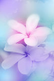 Frangipani Flowers. Royalty Free Stock Image