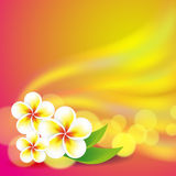 Frangipani flowers on colorful background Stock Image