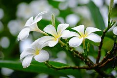 Frangipani flowers covered in raindrops, Bali Royalty Free Stock Photography