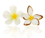 Frangipani flowers dry Stock Photo