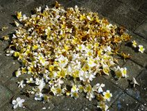 Frangipani flowers drying Stock Images