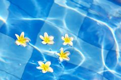 Frangipani flowers floating in blue water Stock Images