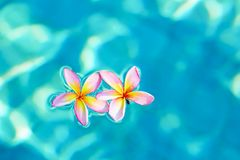 Frangipani flowers floating in blue water Royalty Free Stock Images