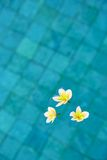 Frangipani flowers floating in blue water Royalty Free Stock Photography