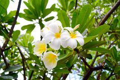 Frangipani Flowers. Flora, Flower, Bloom Royalty Free Stock Photos