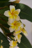 Frangipani flowers. Frangipani is a flowering perennial of the genus Plumeria, there are many kinds. Some are convinced that Frangipani trees should not be Stock Photos