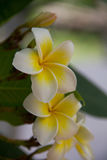 Frangipani flowers. Frangipani is a flowering perennial of the genus Plumeria, there are many kinds. Some are convinced that Frangipani trees should not be Royalty Free Stock Photography