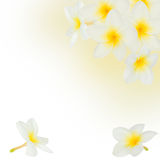Frangipani flowers frame Royalty Free Stock Photo