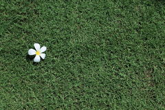 Frangipani flowers and fresh spring green grass.  Royalty Free Stock Photography