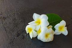 Frangipani flowers Royalty Free Stock Photos