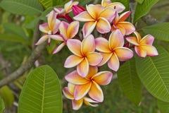 Frangipani flowers. In garden thailand Stock Image