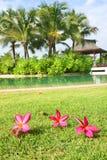 Frangipani flowers on a grass in the garden Stock Photos