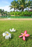 Frangipani flowers on a grass in the garden Stock Images
