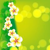 Frangipani flowers on green background Royalty Free Stock Photography
