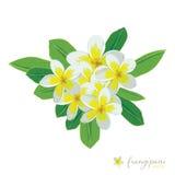 Frangipani flowers illustration Royalty Free Stock Photos