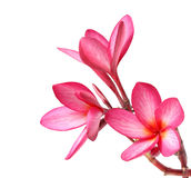 Frangipani flowers isolated Stock Image