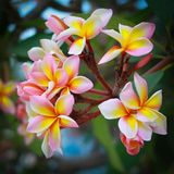 Frangipani flowers with leaves in background Royalty Free Stock Photos