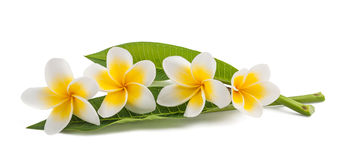 Frangipani. Flowers with leaves isolated on white royalty free stock photo