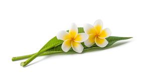 Frangipani. Flowers with leaves isolated on white royalty free stock photos