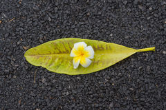 Frangipani flowers with leaves in road Stock Photos
