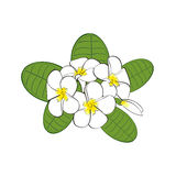 Frangipani flowers with leaves  on white background. Royalty Free Stock Images