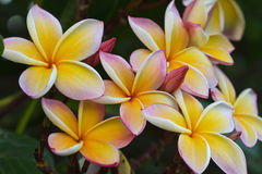 Frangipani flowers no 55 Stock Image
