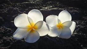Frangipani flowers over black lava stone. Backlit frangipani flowers over black lava stone of Big Island, Hawaii Royalty Free Stock Image