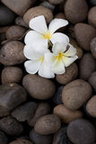 Frangipani flowers on pebble Stock Photos