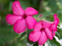 Frangipani flowers. Pink closeup flowers Stock Photos