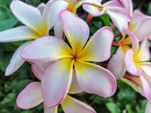 Frangipani flowers with pink fringes. Pink fringed white petals on tropical Frangipani flowers, also known as Plumeria Royalty Free Stock Photo
