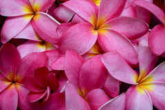 Frangipani flowers (pink Plumeria flower) Royalty Free Stock Photo