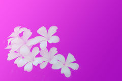 Frangipani flowers on pink and purple background space for text Royalty Free Stock Photos
